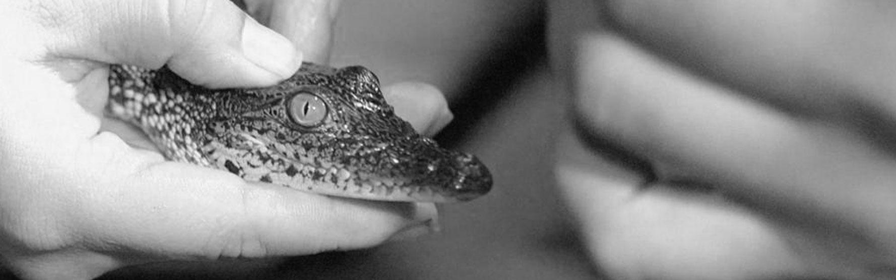 Going Wild: Crocodiles in Belize – Reptiles in Peril