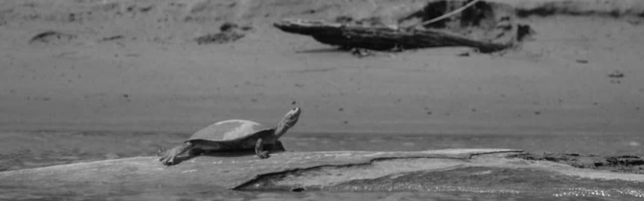 Going Wild: Peru River Turtles