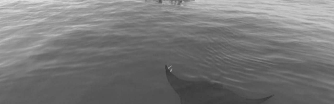 Going Wild: Peru Manta Rays