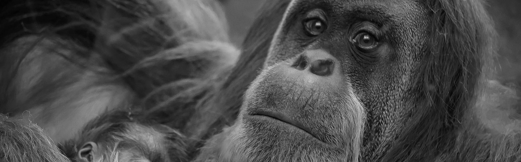 Reuter's Report: Wheelbarrow Orangutans