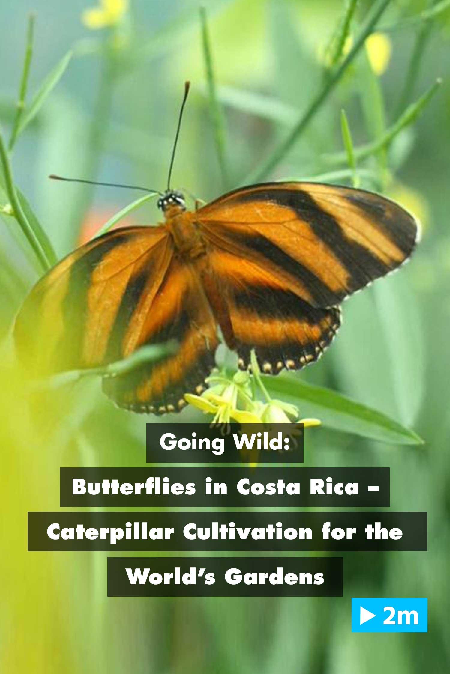 Going Wild: Butterflies in Costa Rica – Caterpillar Cultivation for the World's Gardens