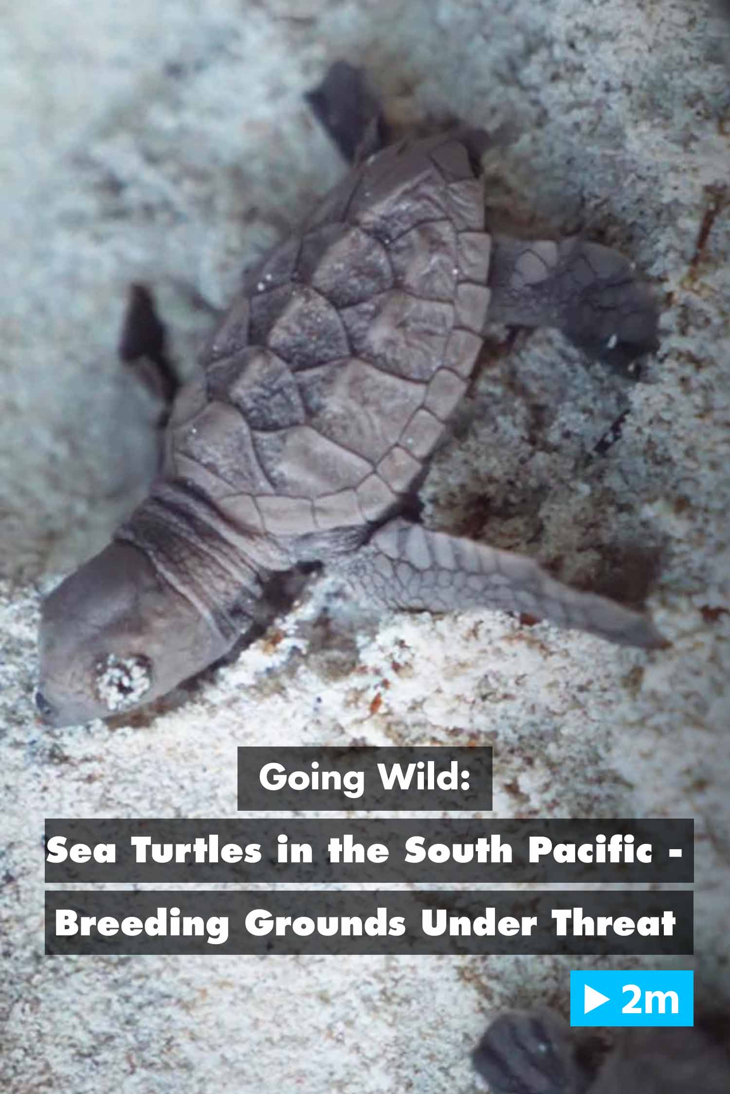 Going Wild: Sea Turtles in the South Pacific – Breeding Grounds Under Threat