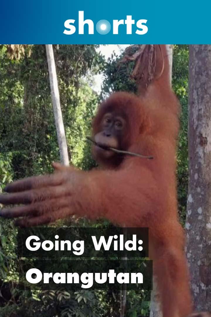 Going Wild: Indonesia Orang Utan