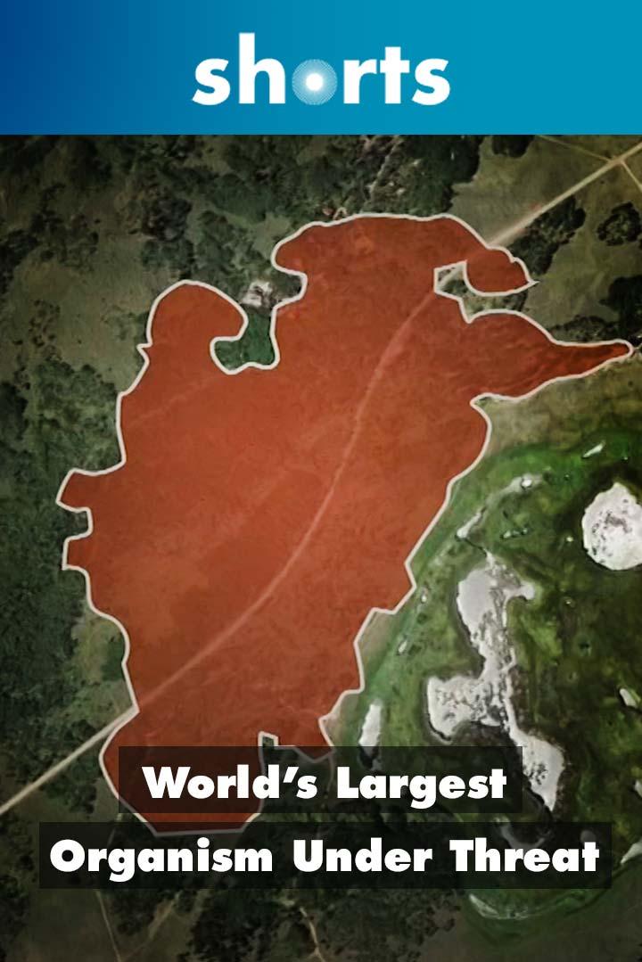 World's Largest Organism Under Threat